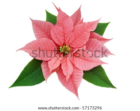 Poinsettia (Euphorbia pulcherrima ) isolated with clipping path