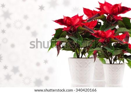 Poinsettia (euphorbia pulcherrima), knows also as Christmas star. on white background - stock photo