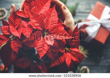 Poinsettia flower in woman hands with gift box on background. Christmas preparing process