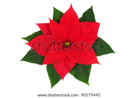 Poinsettia flower isolated on white. Clipping path. - stock photo