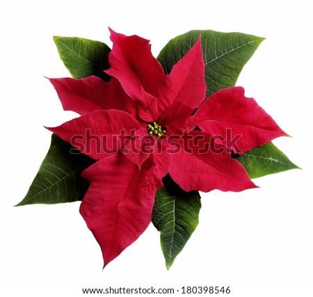 poinsettia flower on white  - stock photo