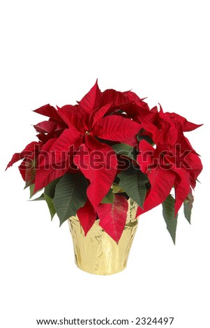 Poinsettia in Pot - stock photo