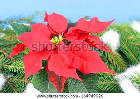 Poinsettia is a traditional Christmas Flower. - stock photo