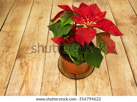 Poinsettia is a traditional Christmas Flower. It is known as Bethlehem Star in some countries. Flower in a pot standing on the countertop with wooden planks. Horizontal view from the top. - stock photo