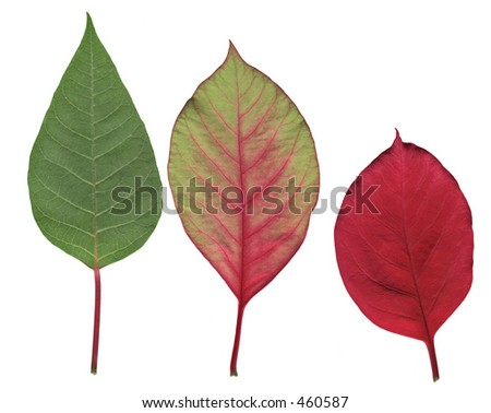 Poinsettia leaves in three stages of changing color from green to red