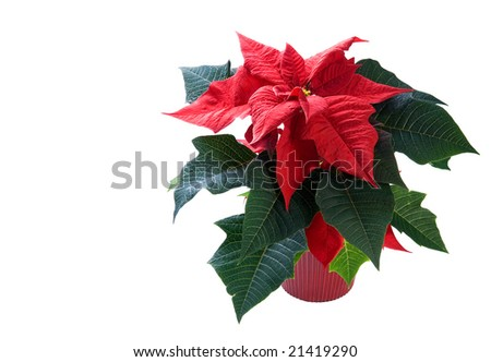 Poinsettia on white background in a red pot