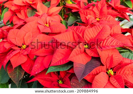 Poinsettia plants in bloom used as traditional Christmas decorations