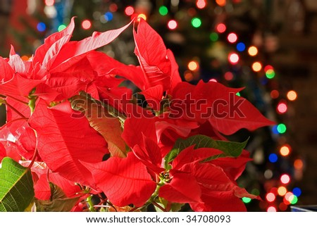 poinsettia with the Christmas tree lights in the background - stock photo
