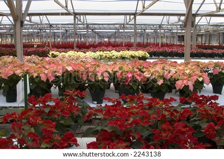 Poinsettias in rows in a large greenhouse. - stock photo