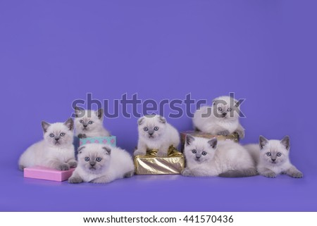 Point little Scottish fold kittens on a purple background - stock photo