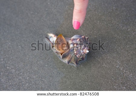 Pointing at a living whelk on the seashore