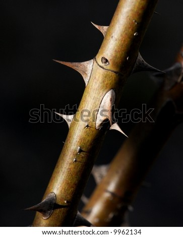 Pointy rose thorns - stock photo