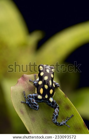 poison arrow frog Ranitomeya vanzolinii from the tropical rain forests of Brazil and Peru - stock photo