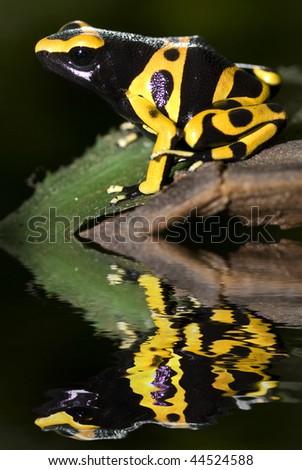 Poison dart frog, dendrobates leucomelas with reflection - stock photo