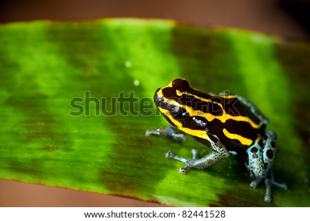 poison dart frog jewel of the rain forest with bright vivid yellow lines. Amphibian sitting on leaf in Amazon rain forest. Tropical and exotic pet animal. Dendrobates ventrimaculatus - stock photo