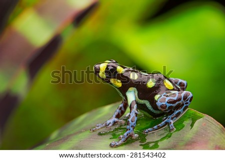 poison dart frog with yellow spots and blue legs, Ranitomeya vanzolinii a beautiful amphibian from the peruvian Amazon jungle - stock photo