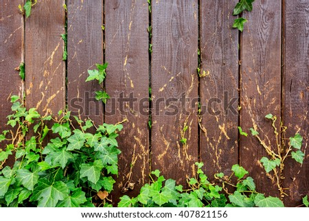 Poison ivy climbing on wooden fence, use as textured background, natural background - stock photo