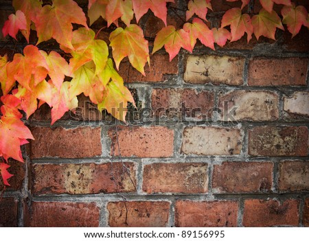 Poison ivy in autumn. Background Coloful ivy leaves over old brick wall with copyspace. - stock photo