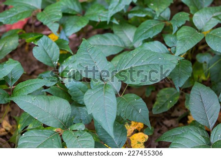 Poison Ivy, Toxicodendron radicans - stock photo