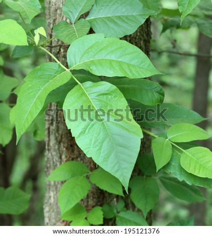 Poison ivy, Toxicodendron radicans, vine growing on a tree - stock photo