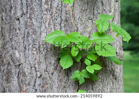 Poison ivy vine growing up the side of a mature tree. - stock photo