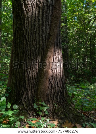 Poison ivy vine with aerial roots climbing tree