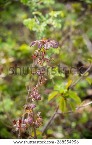 Poison Oak Branch - stock photo