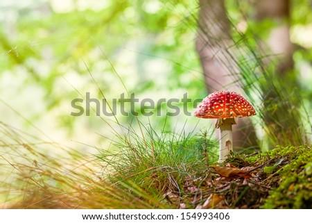 Poisonous and psychoactive basidiomycete fungus. - stock photo