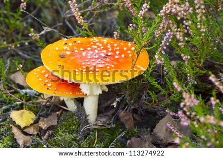 poisonous mushroom - stock photo