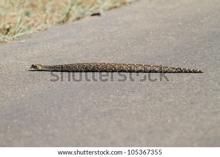 Poisonous puffadder snake from South Africa