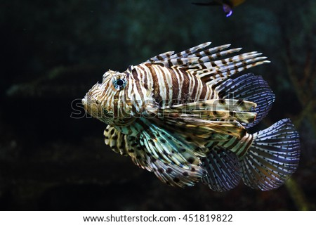 Poisonous red lion fish - stock photo