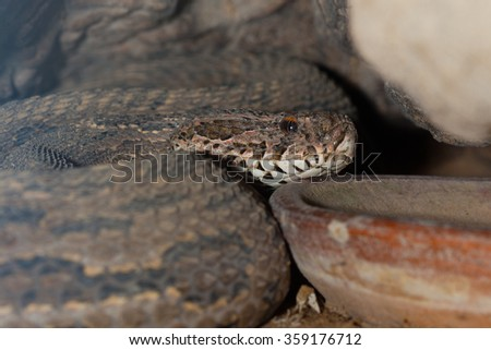 Poisonous snake is in the terrarium, close up. - stock photo