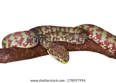 poisonous snake on a tree branch, isolated on white background