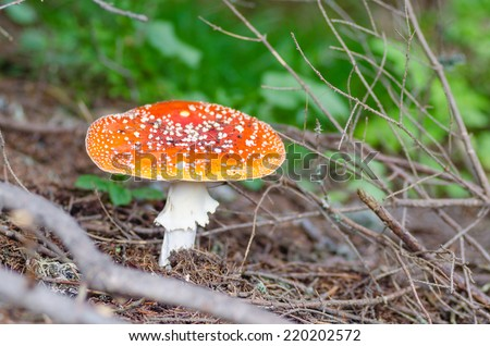 Poisonous toadstool in the forest