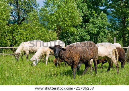 Poland, Bieszczady. Black and white sheeps on the meadow.