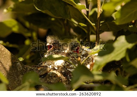 Poland.Bory Tucholskie National Park in June.Two chicks of the chaffinch in the nest are waiting for parents with food - stock photo