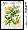 POLAND - CIRCA 1980: A stamp printed in POLAND shows image of a Calendula officinalis, herb series, circa 1980 - stock photo