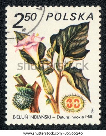 POLAND - CIRCA 1980: A stamp printed in POLAND shows image of a Datura innoxia, herb series, circa 1980 - stock photo
