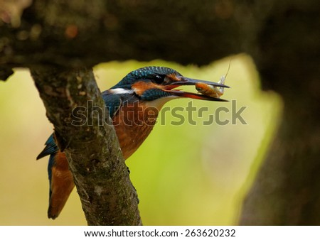 Poland in June.Common Kingfisher with caught fish is sitting on the branch of the felled tree.Close view - stock photo