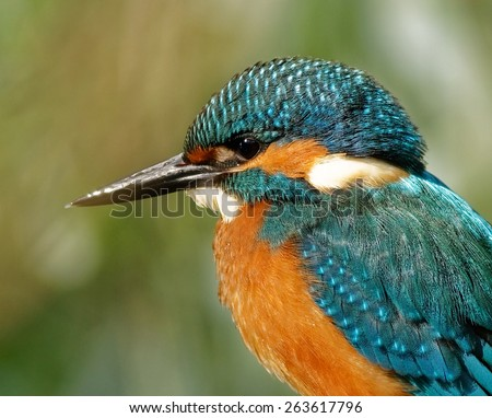 Poland in June.Portrait of kingfisher.Close view on his bill,eye and feathers.Beautiful,sunny day. - stock photo