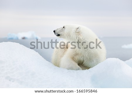 Polar bear at Svalbard - stock photo