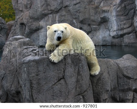Polar Bear at the Albuquerque Zoo - stock photo