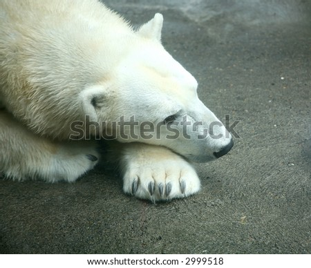 Polar Bear at the Zoo - stock photo