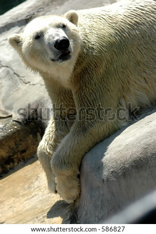 Polar Bear,Buffalo Zoo,Buffalo,New York - stock photo