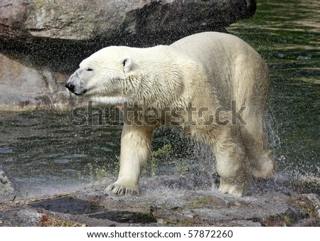 Polar Bear climbing out of water onto a rock