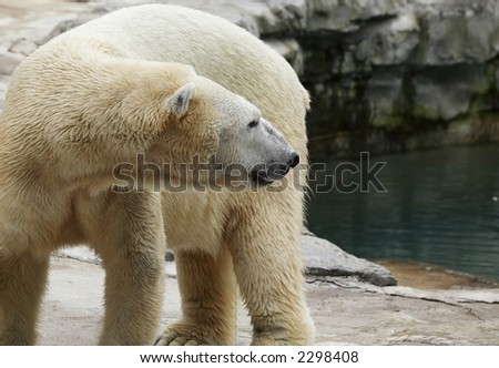 polar bear coming out of the water and drying off. - stock photo