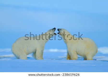 Polar bear conflict with open snout in Svalbard - stock photo