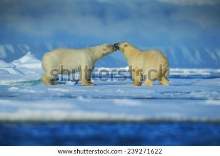 Polar bear couple cuddling on drift ice in artict Svalbard - stock photo