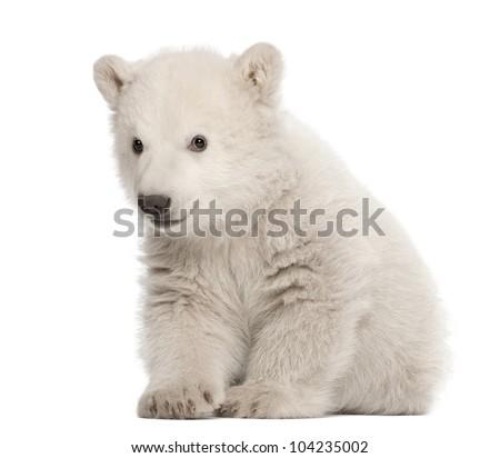Polar bear cub, Ursus maritimus, 3 months old, sitting against white background - stock photo