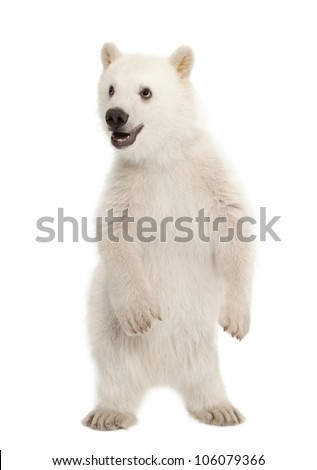 Polar bear cub, Ursus maritimus, 6 months old, standing on hind legs against white background - stock photo